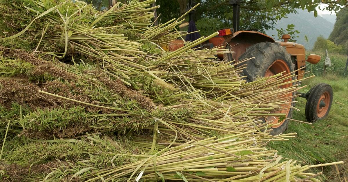Bundles of Hemp Plants