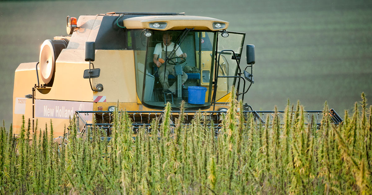 Hemp Field Harvesting